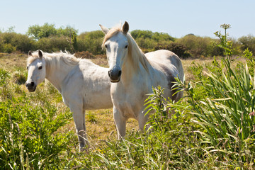 Two White Horses in a Green Field
