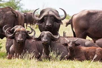 Photo sur Aluminium Buffalo Buffalo herd resting on grass