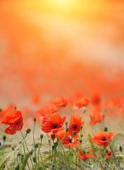 Obraz Poppies background - fototapety do salonu