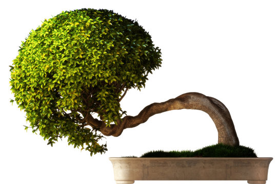 Bonsai tree side view with a white background.