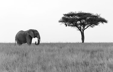 Elephant standing next to Acacia tree