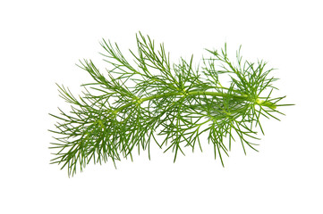Fresh branch of fennel on a white background.