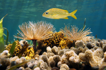 French grunt fish above feather duster worm, tube sponge and coral in the Caribbean sea