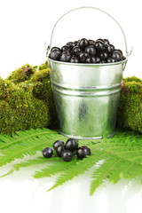 Blueberries in bucket on moss and fern background close-up