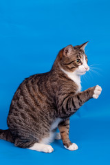 Playful tabby cat on the blue background