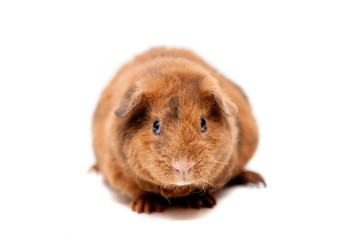 Teddy guinea pig, isolated on the white background