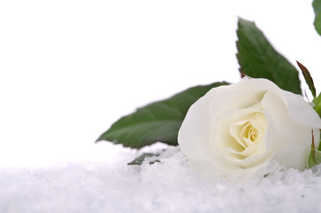 white roses in the snow