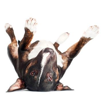 english bull terrier dog lying upside down