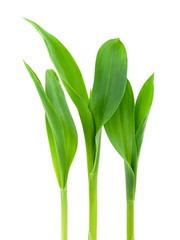 Conr plant