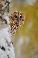 Wall Mural - Courious tawny owl