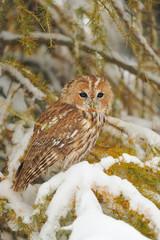 Fototapete - Tawny owl in winter