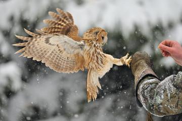 Wall Mural - Landing tawny owl on glove