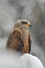 Fototapete - Black Kite in winter