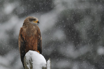 Fototapete - Black Kite in winter