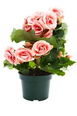 Beautiful flowers begonia in a flower pot.
