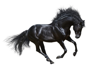 Fotoväggar - Black stallion in motion - isolated on white