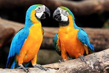 Tuinposter Papegaai Couple blue-and-yellow macaws (Ara ararauna)