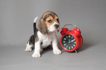 Poppy and alarm-clock