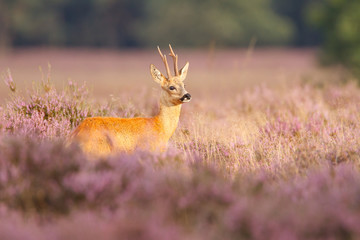 Wall Murals Roe A roe deer in a field of heather