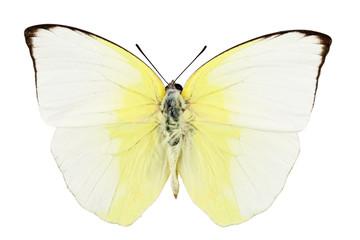 Butterfly species phoebis statira
