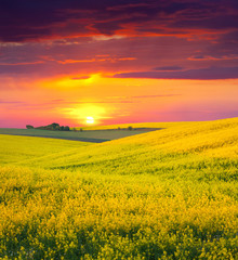 Papiers peints Grenat Summer Landscape with a field of yellow flowers. Sunset