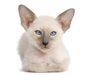 Oriental Shorthair kitten, 9 weeks old, lying and looking
