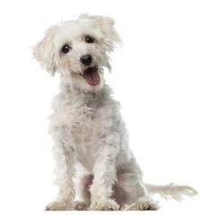 Maltese dog, 3 years old, sitting