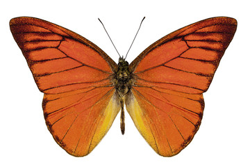 "Orange butterfly species appias nero neronis ""Orange Albatross"""