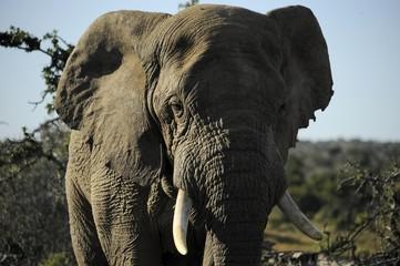 Elefante in primo piano