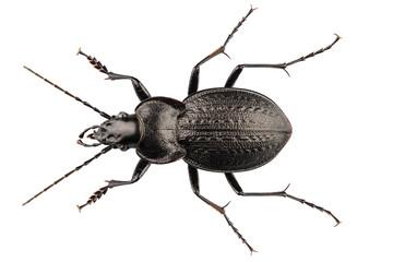 beetle species carabus coriaceus