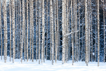 In de dag Berkbosje Snowy birches