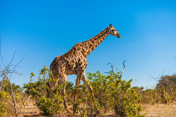 Giraffes walking