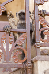 Langur looking through the railings.