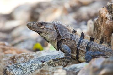 Iguana lizard sitting on a rock on a sunny day