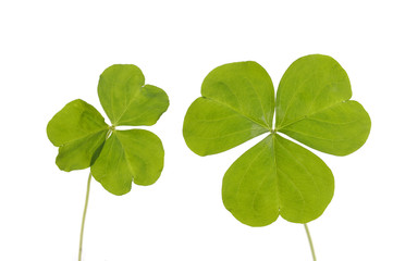 Pair of three Leaf Clover isolated on white