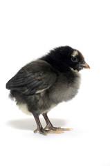Black baby chick