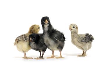 Four little chicks on white
