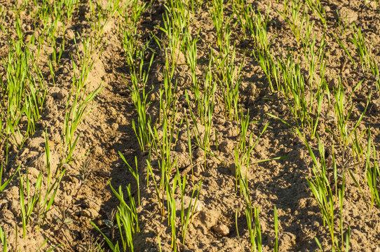 Small wheat plant