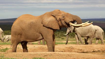 Elephant Bull Drinking