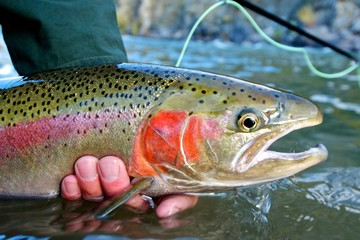 Ingelijste posters Vissen Steelhead trout caught while fly fishing