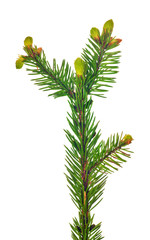 small fir branch isolated on white