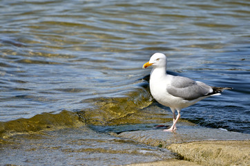 Herring gull (Larus argentatus) standing near of water