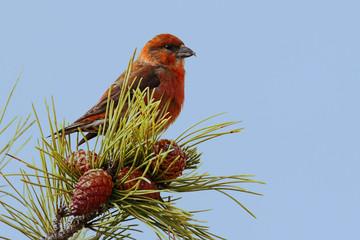 Fotoväggar - Red (or Common) Crossbill