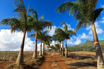pineapple plantation of south Mauritius