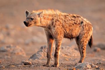Poster Hyène Spotted hyena, Etosha National Park