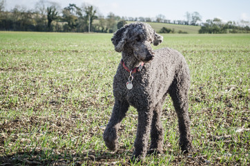 Standard Poodle in Large Field
