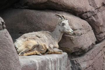 Mountain goat lying down