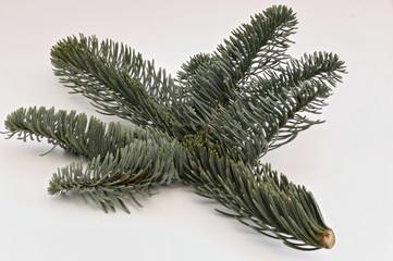 Zweig einer Silbertanne