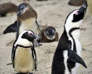 Pinguino che osserva