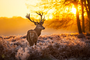 Photo sur Aluminium Cerf Red Deer in morning Sun.
